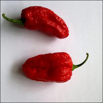 Chili 'Naga Morich'