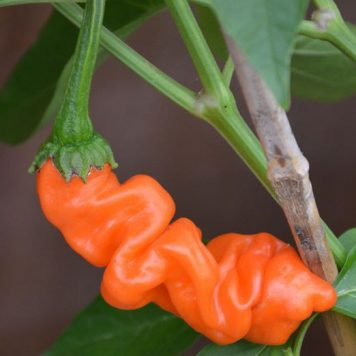 Chili 'Peter Pepper Orange'