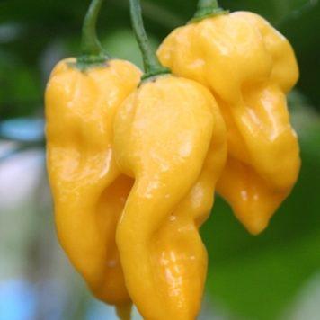 Chili 'Habanero Hot Lemon'-0