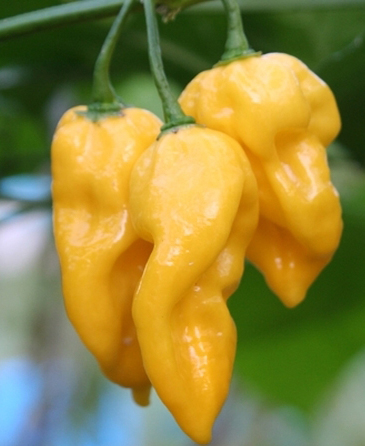 Chili 'Habanero Hot Lemon'-0