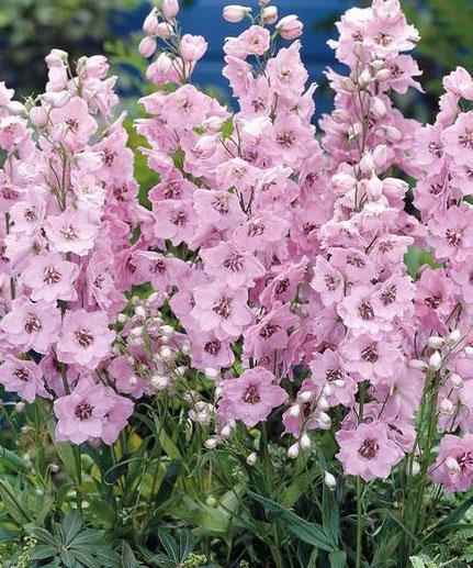 Jaloritarinkannus 'Magic Fountains Pink Shades'-1199